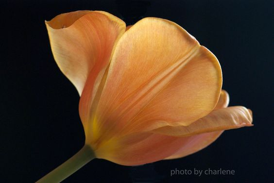 simple elegance of a tulip
