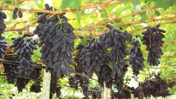 """A uva """"sweet sapphire"""" (safira doce, em inglês) é uma novidade no mercado brasileiro que está ficando conhecida como dedo-de-moça, por lembrar o formato da pimenta de mesmo nome. Conheça mais sobre a fruta clicando nas fotos acima"""