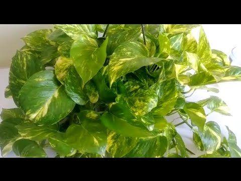 ابسط طريقه لااكثار والعناية بنبات البوتس اللبلاب فديو مهم جدا كيف اجعل نبات اللبلاب كثيف الاوراق Youtube Flowers Vegetables Spinach