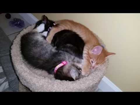 Tired Kittens Sleeping On Top of Cat Condo Curled Up Together - 5 Weeks Old - YouTube