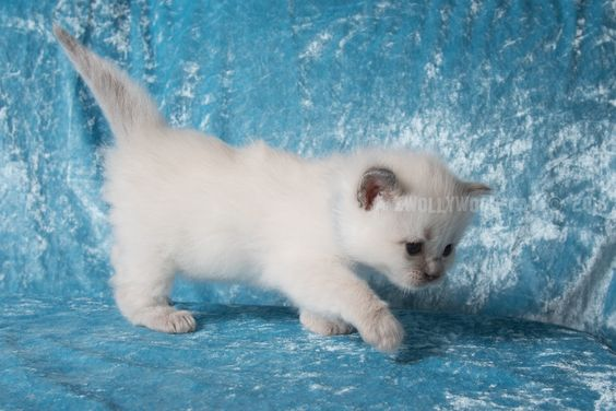 2016: Varden A Zwollywood Cat.  4 Weeks old. Ragdoll kitten, blue colourpoint. Eragon litter.