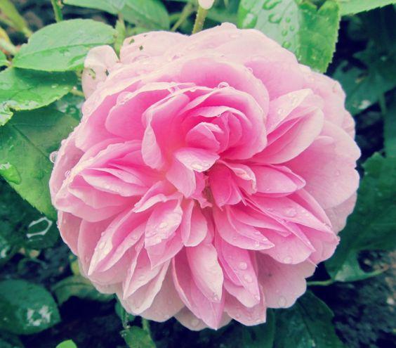 Harlow Carr David Austen Rose  An update on my garden blooming in May  www.thereadingresidence.com  #gardening #gardens #roses #davidaustin