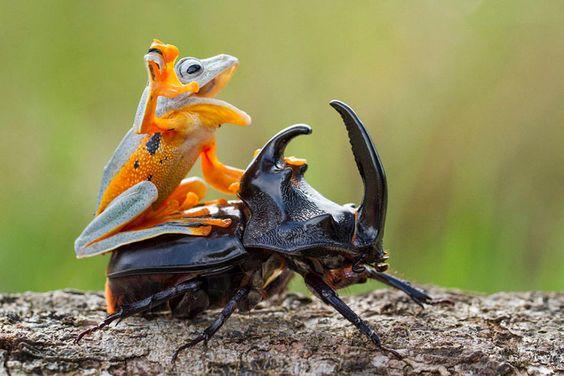 Como si fuere un jinete esta rana monta felizmente un escarabajo.