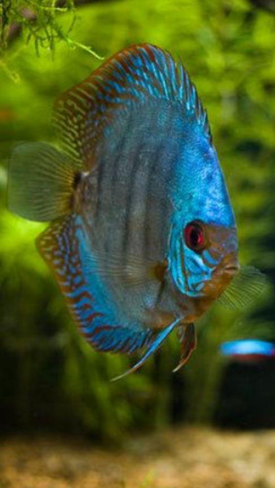 Blue Discus Fabulous Fish Pinterest Fish Blue And