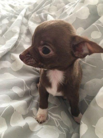 3 Female Chihuahua Puppies Launceston Cornwall Pets4homes