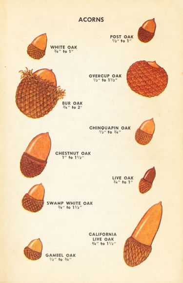 types of acorns chart galleryhip     the hippest