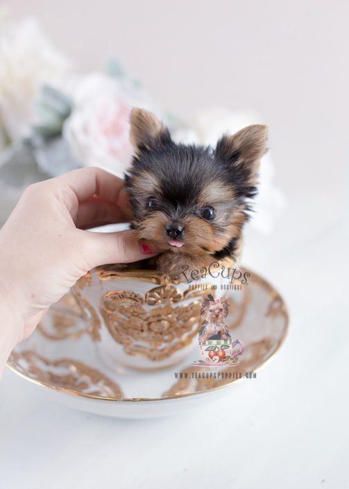 Yorkshire Terrier Miniature I Asked My Mom For This But I M Not Home I Also Asked By Bf But We Broke Up So Who Teacup Yorkie Puppy Yorkie Puppy Cute Animals