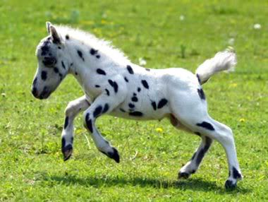 Falabella (the smallest breed of horse):