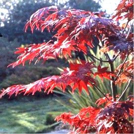 Erable du japon 39 osakazuki 39 rouge et ps for Comarbuste a feuille rouge