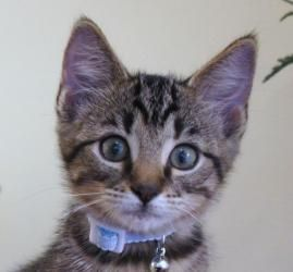 Buckie is an adoptable Manx Cat in Franklin, TN. Buckie is personality plus and purrs not stop while he is being held. He will climb in you lap for attention.