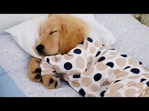 Golden Puppy Sleeping In Pjs Youtube Sleeping Puppies Golden