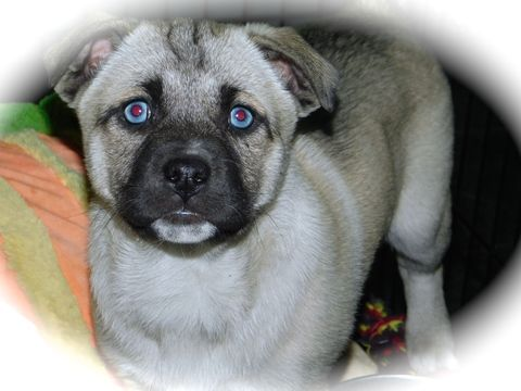 Pug Siberian Husky Mix Puppy For Sale In Hammond In Adn 71715 On