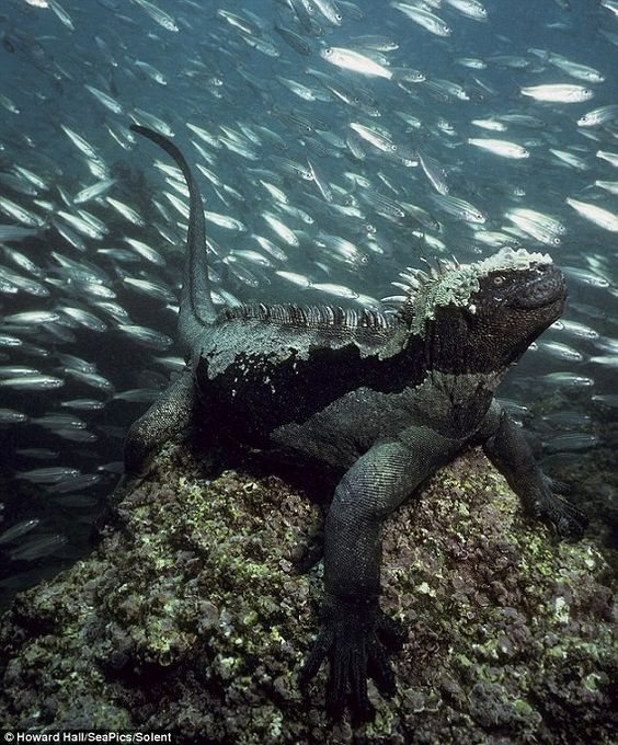 Marine Iguana  Beautiful creature with lots of fish in the background.