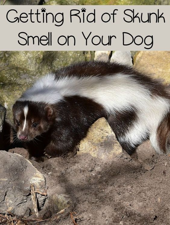 Dogs And Skunks Getting Out Smell
