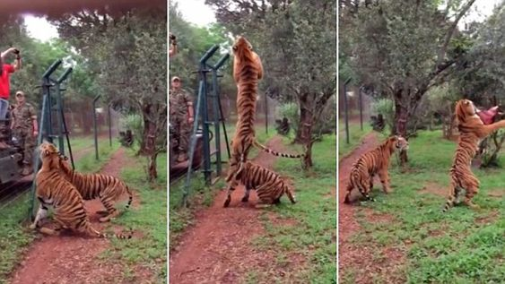Incredible slow-mo video shows tiger grabbing food thrown by a ourist mid-air in South Africa.