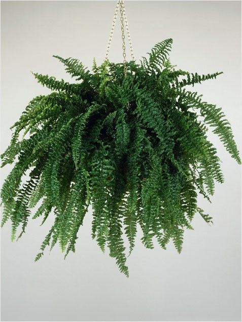 BOSTON FERN - The plant's benefits go beyond the aesthetic: the Boston fern acts as a natural humidifier, absorbing common air pollutants and releasing water vapor.    The best way to care for your fern is to simulate its native tropical woodland. Hang it by an east or north-facing window as ferns like moderate indirect light. Water very often and keep the soil moist but not soggy. Mist frond