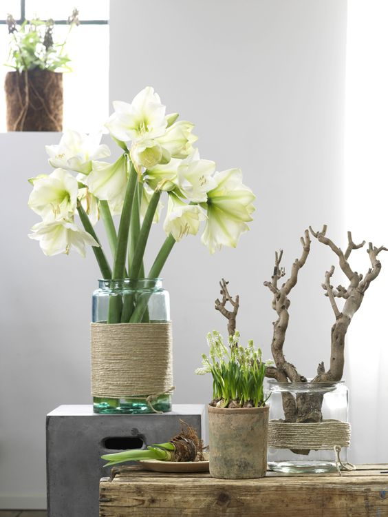 Amaryllis in mooie vaas kerst pinterest planten for Decoratie in vaas
