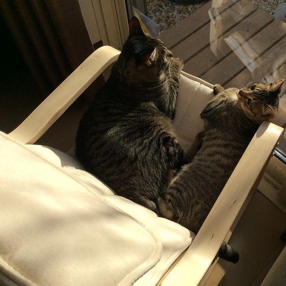 「きみちゃんとココちゃん。 一緒にひなたぼっこ気持ちいいね✨  #cat#tabbycat#rescuedcat#kitty#kitten#猫#ねこ#キジトラ#保護猫#子猫」