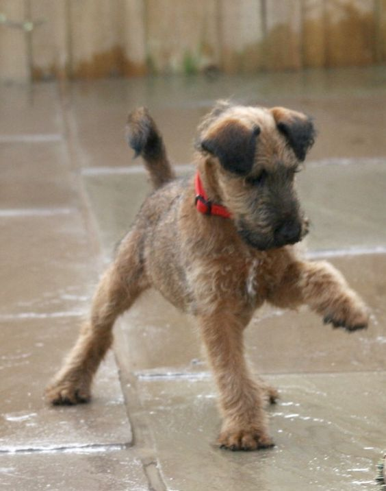 Pin By Alicia Nutt On Irish Terrier S Irish Terrier Fancy Dog Fancy Dog Collars