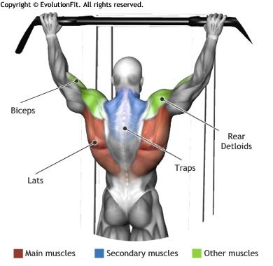 lat muscle – applecool, Human Body