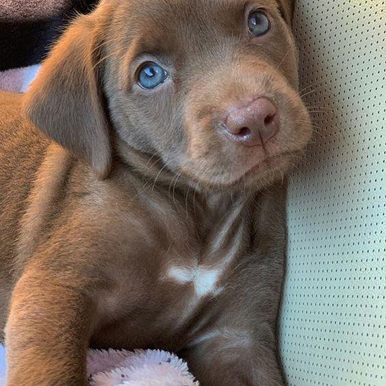 Cute Labrador Puppy In 2020 Cute Labrador Puppies Cute Baby