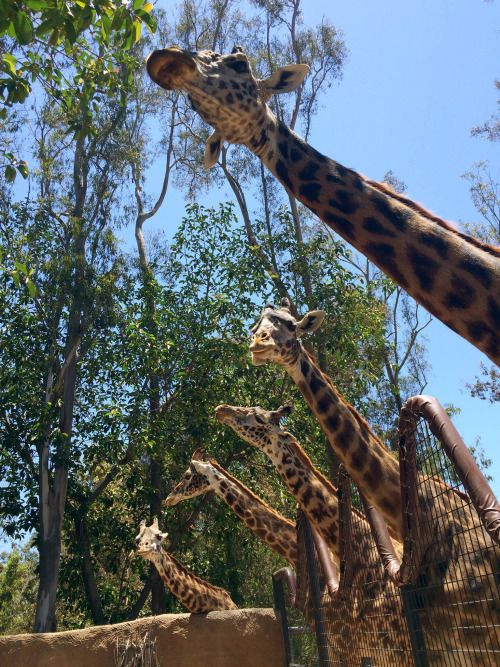 Giraffic jams at the San Diego Zoo   photo: Jesus Ocegueda