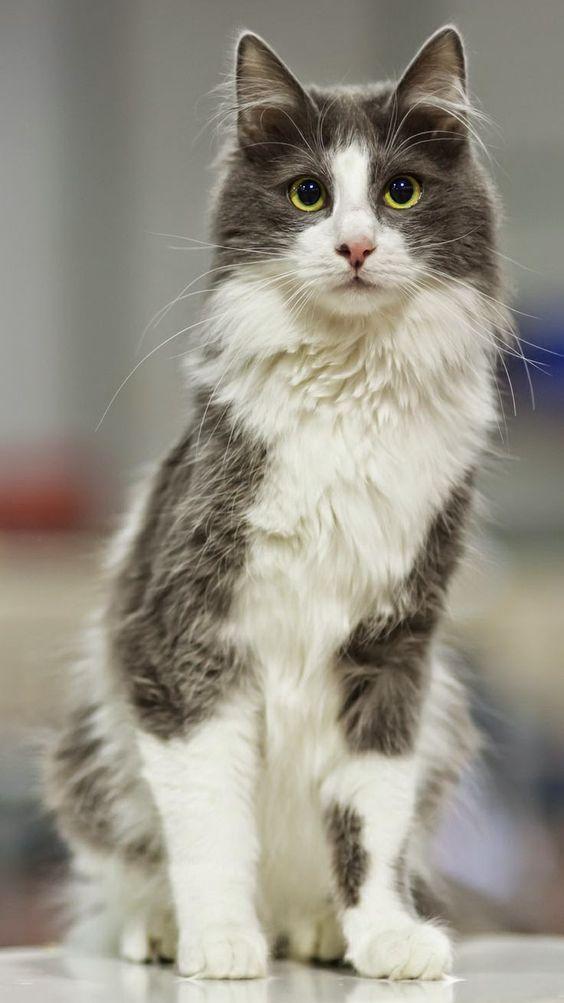 Top 5 most beautiful cat breeds. Turkish Angora