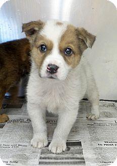 3/9/16 Philadelphia, PA - Shepherd (Unknown Type)/Hound (Unknown Type) Mix. Meet Monty, a puppy for adoption. http://www.adoptapet.com/pet/15067825-philadelphia-pennsylvania-shepherd-unknown-type-mix
