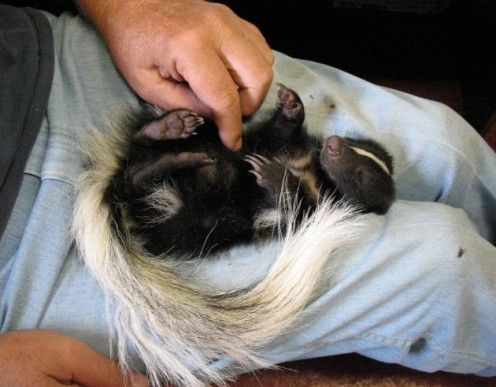 Pet Skunk Getting a Tickle i want to cuddle with de sunked skunk