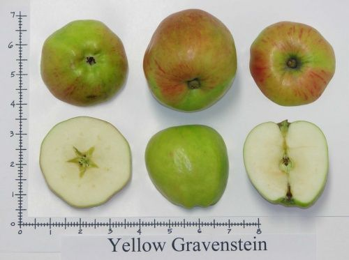 Seattle Tree Fruit Society - great apple ID site