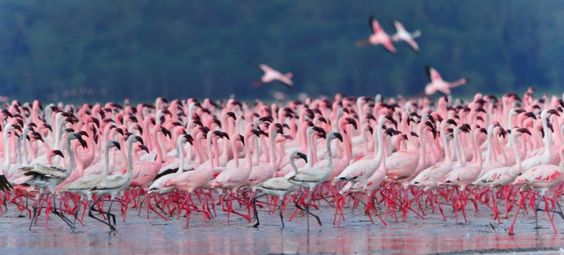 Фламинго на озере Богория, Кения