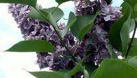 How to Transplant Lilac Suckers | eHow.com