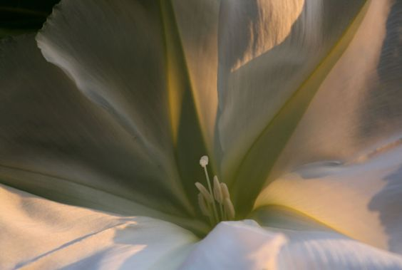 Moonflower in evening light