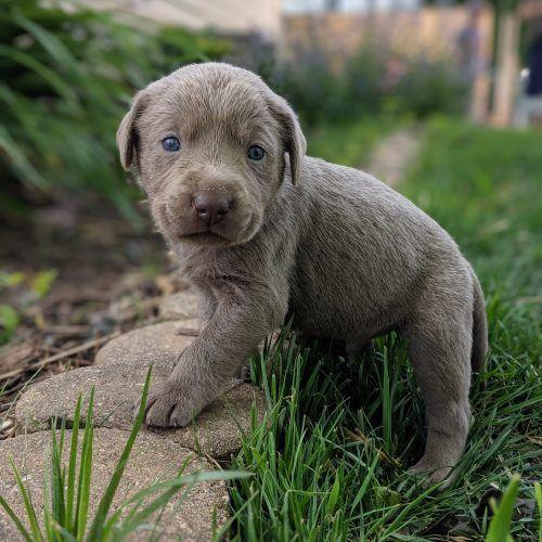 Akc Male Silver Lab Puppy With Green Collar In Dallas Center Iowa