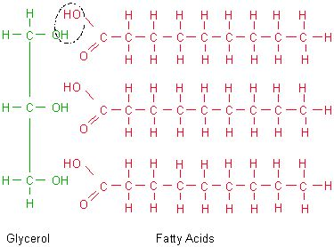 lipids fatty acid and amp The responses of mac-t cells to 16:0 and 18:0 treatments led to greater expression of intracellular fatty acid transport, lipid droplet transcriptional regulation and de novo fatty acid synthesis after non-esterified fatty acids activate the amp-activated protein kinase signaling pathway.