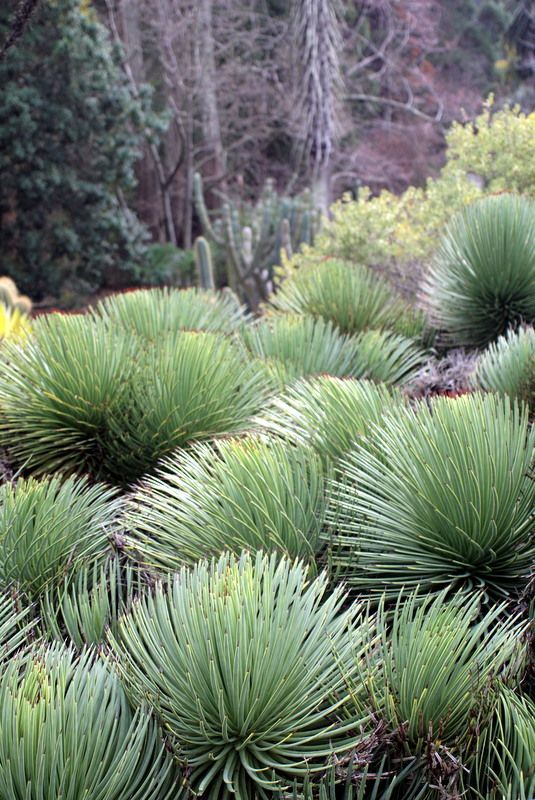 Agave stricta (hedgehog agave) at the UC Botanical Garden via a growing obsession