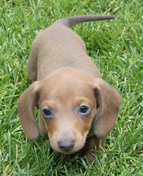 Blue Tan Dachshund Puppies In Co Ca Wa Or Mt Id Wi Wv Va