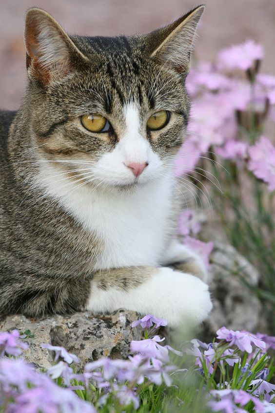 Tabby in the garden | mostlycatsmostly: (via ChrisAnderson) ""