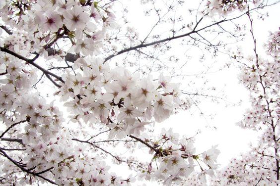 Sakura by David Boscà