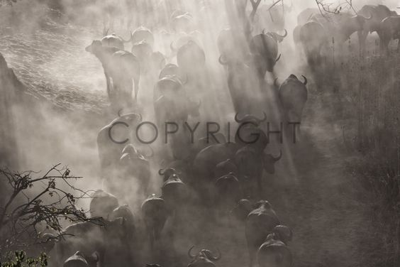 All sorts of prints are available for this image at fineartprint.de  Africa, Zimbabwe, Safari, buffalo, wildlife, nature
