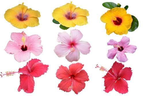 Hibiscus Flower Benefits Remedies Precautions And More Hibiscus Hibiscus Flowers Flowers