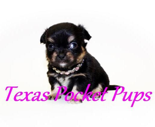 Dallas Tx Teacup Chihuahua Puppies For Sale Dallas Texas Breeder Chihuahua Puppies Shitzu Puppies