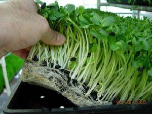 High resolution photographs of microgreens