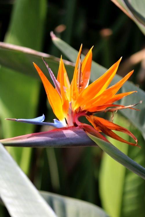 Bird Of Paradise Strelitzia Reginae Catania Sicily Italy Birds Of Paradise Tropical Plants Tropical Flowers