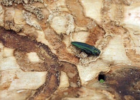 The ash trees are being decimated by the invasive emerald ash borer beetle, which arrived in Michigan from Asia in the late 1990s in infested shipping pallets