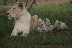 Resultado de imagen de león blanco en peligro de extincion