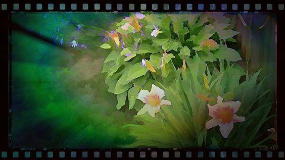 #Nature #daylillies  #flowers