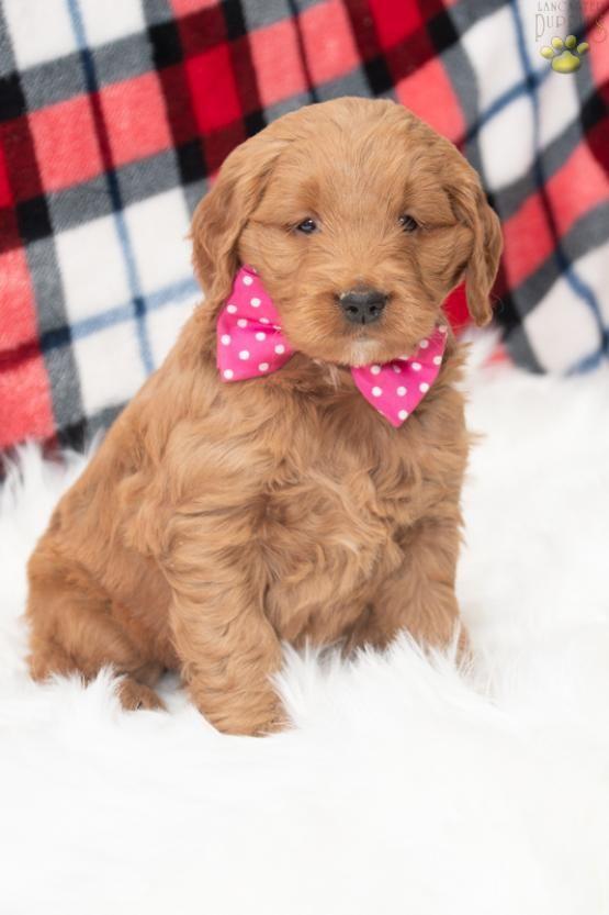 Minigoldendoodle Goldenretriever Poodle Charming
