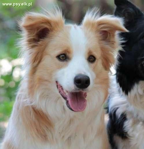 Border Collie Purebred Puppies In Color Australian Red Dolnoslaskie Dogs Border Collie Dog Herding Dogs