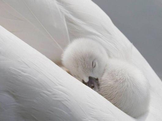 Baby swan sleeping on mom.: